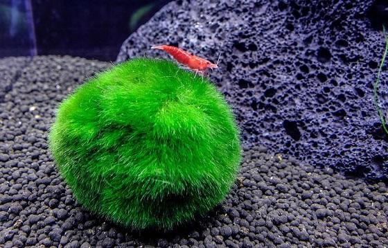 Эгагропила в аквариуме