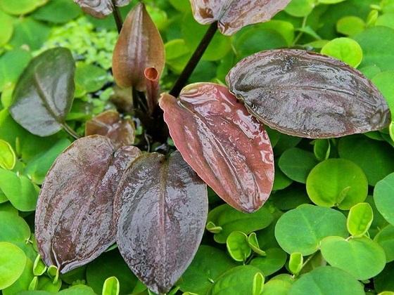 Растение Лагенандра Меебольда