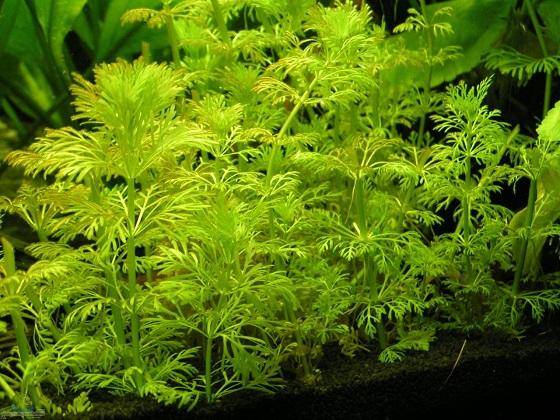 Растение Limnophila sessiliflora