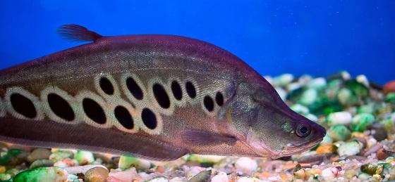 Рыба Индийский Нож Chitala ornata