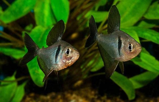 Орнатус черный Фантом - Hyphessobrycon megalopterus