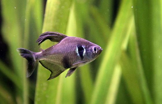 Орнатус черный Фантом в аквариуме