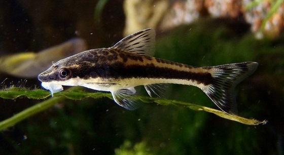 Рыбка Отоцинклюс аффинис