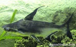 Акулий сом Pangasius sutchi