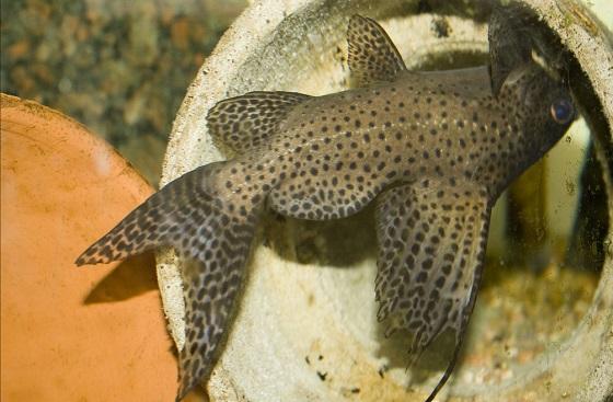 Эуптерус - Synodontis eupterus