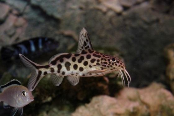 Сом-кукушка - Synodontis multipunctatus