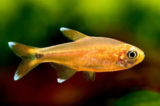Рыбка Хасемания