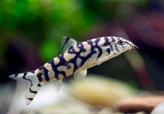 Рыбка Боция хистрионика