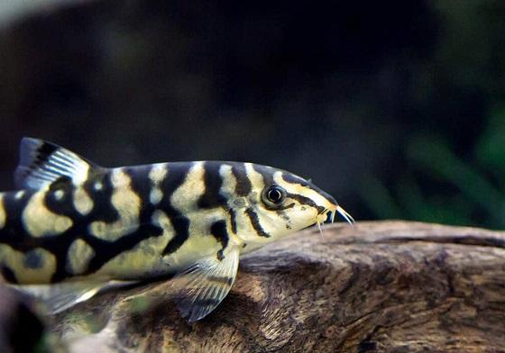 Рыбка Botia histrionica