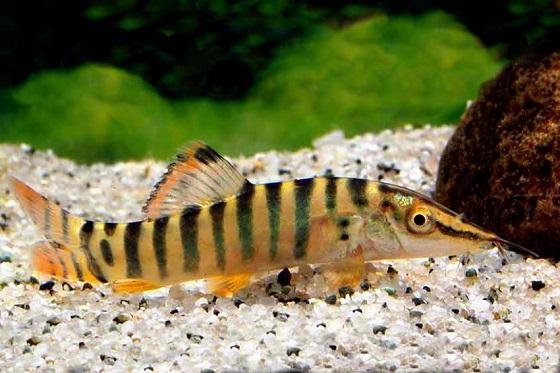 Тигровая боция - Botia hymenophysa