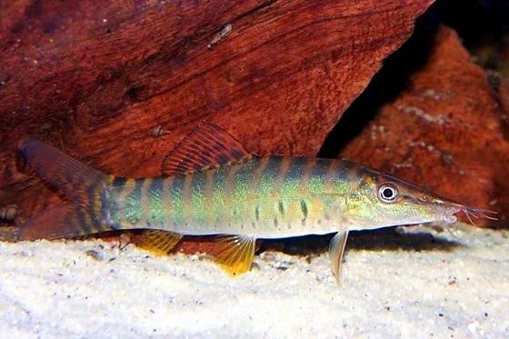Рыбка Botia hymenophysa