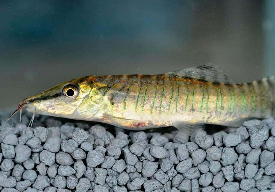 Рыбка Тигровая боция