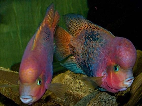 Цихлазома радужная в аквариуме