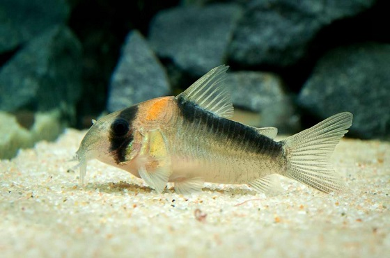 Рыбка Corydoras adolfoi