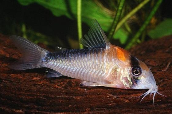 Сомик Коридорас Адольфа - Corydoras adolfoi
