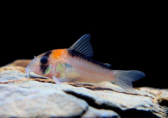 Коридорас Адольфа в аквариуме