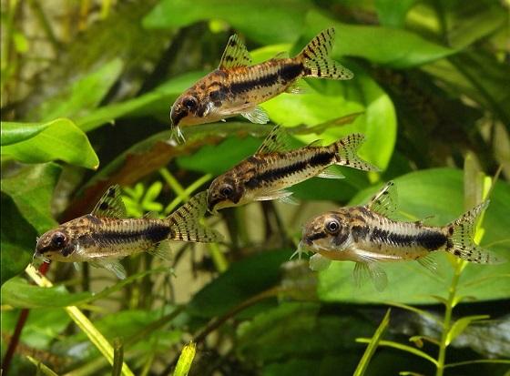 Коридорас хаброзус - Corydoras habrosus