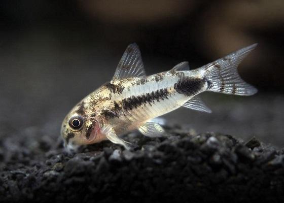 Коридорас хаброзус в аквариуме