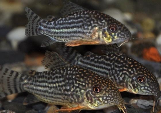Сомик Corydoras sterbai