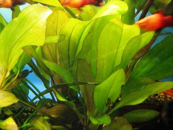 Аквариумное растение Эхинодорус вертикальный