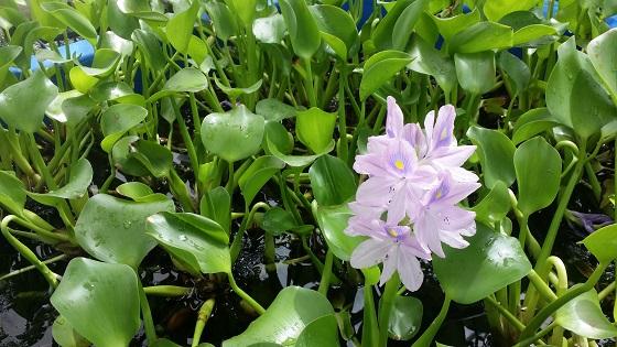 Растение Эйхорния отличная
