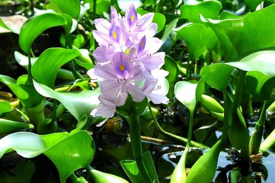 Водяной гиацинт - Eichhornia crassipes