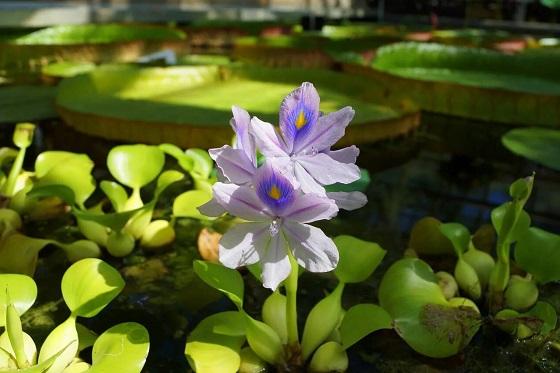 Водяной гиацинт - Эйхорния  красивейшая
