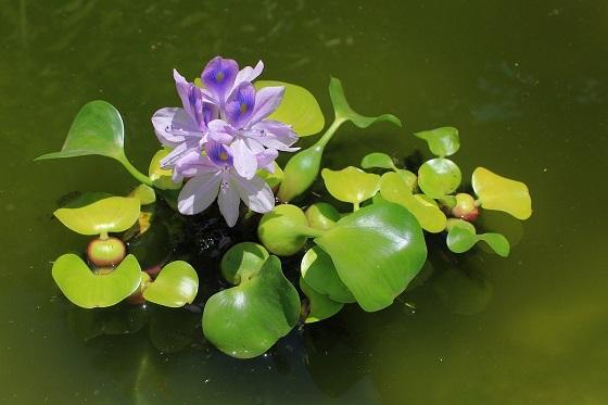 Растение Водяной гиацинт