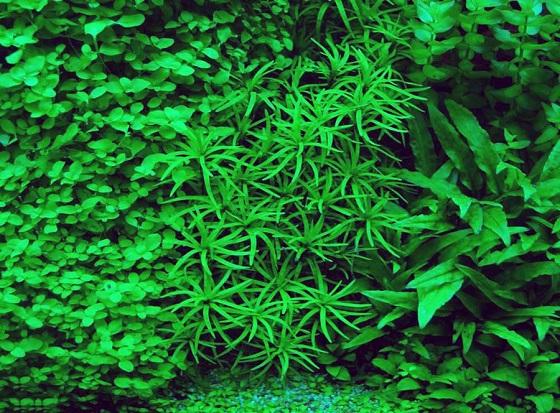 Растение Эйхорния разнолистная