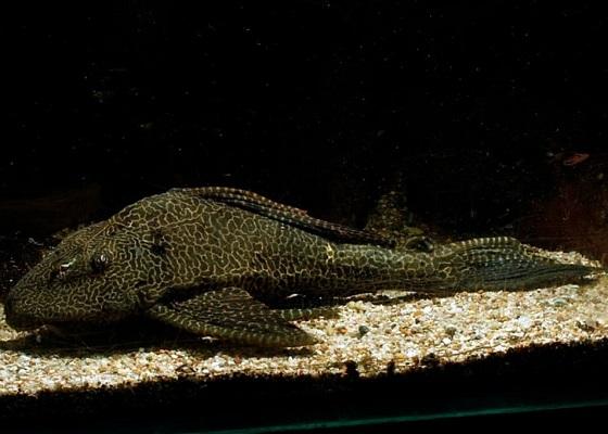 Птеригоплихт парчовый - Glyptoperichthys gibbiceps