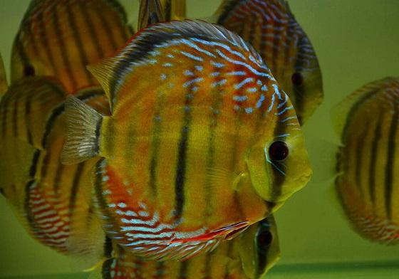 Дискус красный - Symphysodon discus Heckel