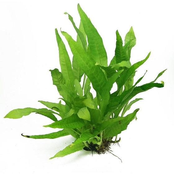 Аквариумное растение Папоротник таиландский