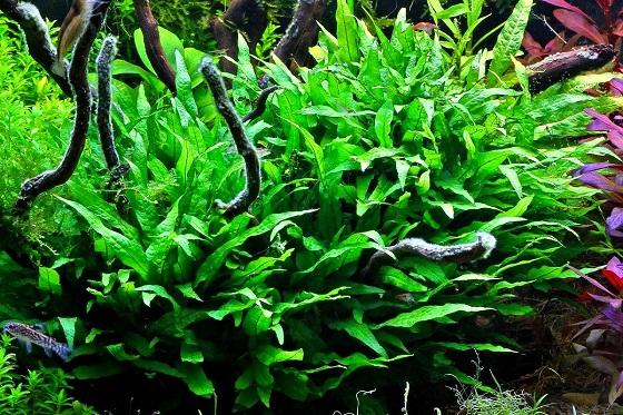 Растение Microsorium pteropus