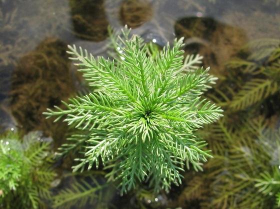 Уруть мутовчатая - Myriophyllum verticillatum