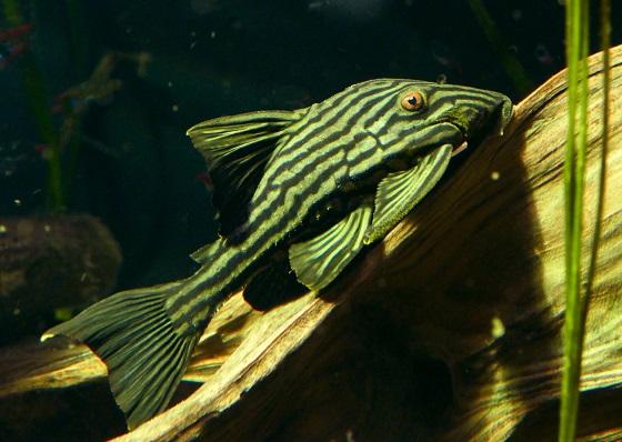 Панак королевский в аквариуме