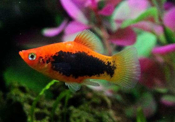 Platypoecilus maculatus