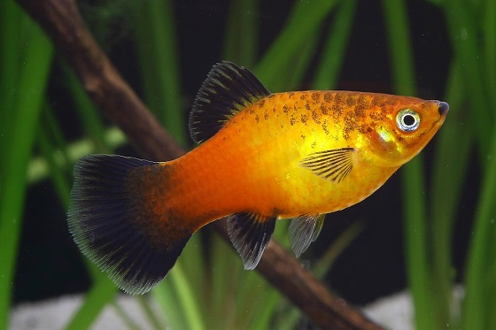 Рыбка Platypoecilus maculatus