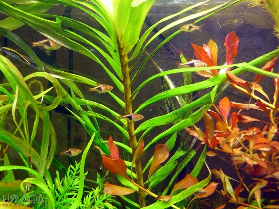 Эйхорния лазоревая - Eichhornia azurea