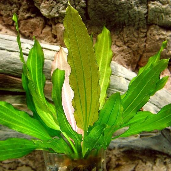 Эхинодорус озирис - Echinodorus osiris