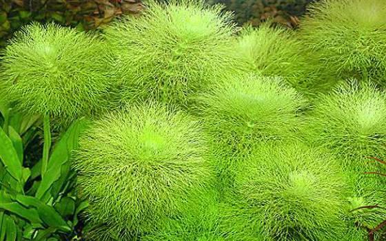 Лимнофила индийская
