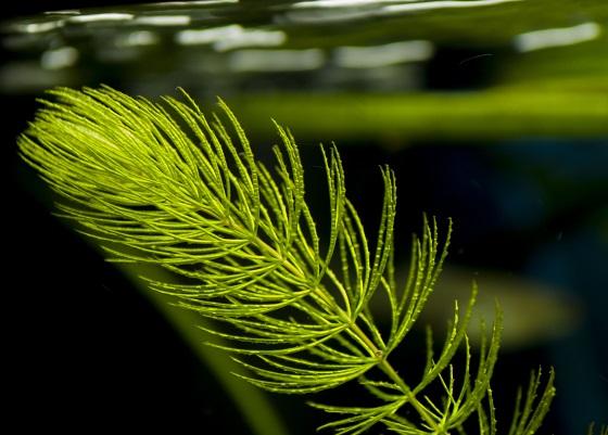 Аквариумное растение Ceratophyllum