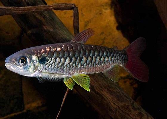 Chalceus macrolepidotus в аквариуме