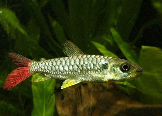 Хальцеус краснохвостый в аквариуме