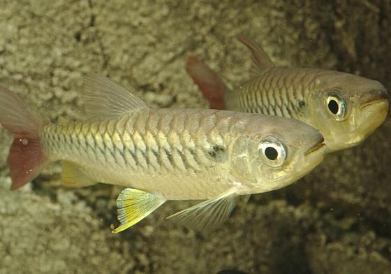 Хальцеус краснохвостый - Chalceus macrolepidotus
