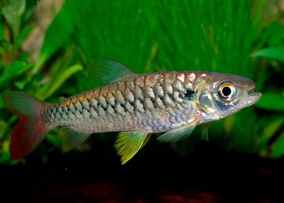Chalceus macrolepidotus