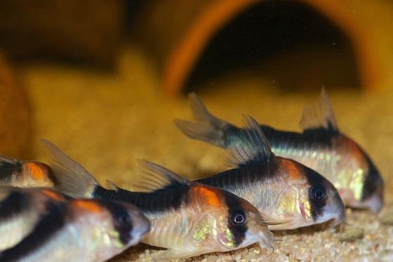 Коридорас дупликареус в аквариуме