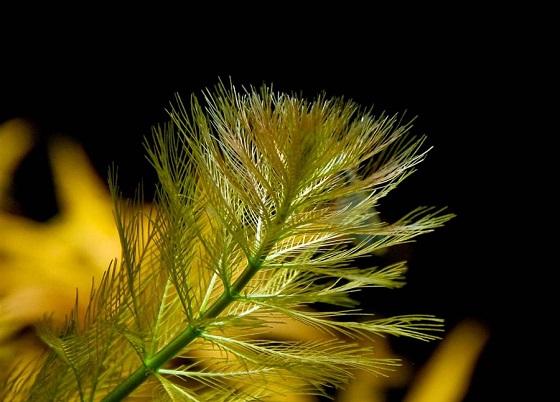 Перистолистник бразильский - Myriophyllum brasiliense