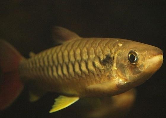 Фото - Chalceus macrolepidotus