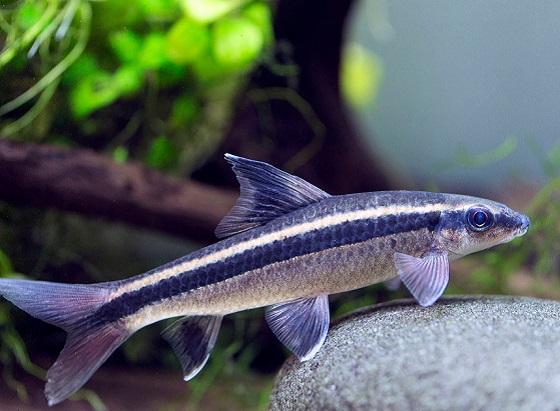 Сиамский водорослеед в аквариуме