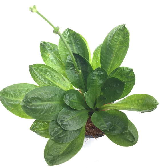 Эхинодорус мелкоцветный Тропика